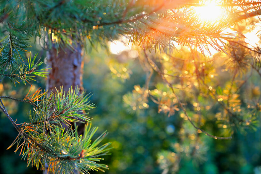 fluffy-pine-branches-in-the-sun-PCDKP8M